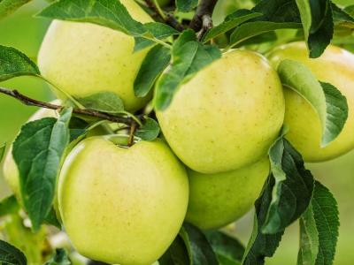 Jablko (GOLDEN DELICIOUS)